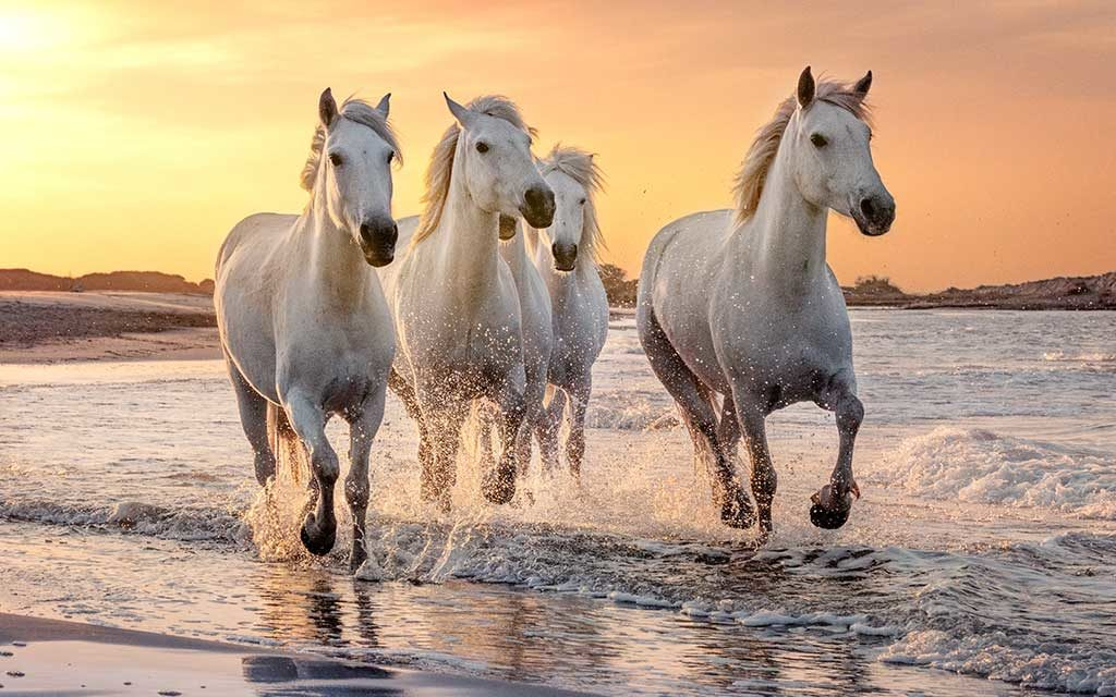 chevaux camarge